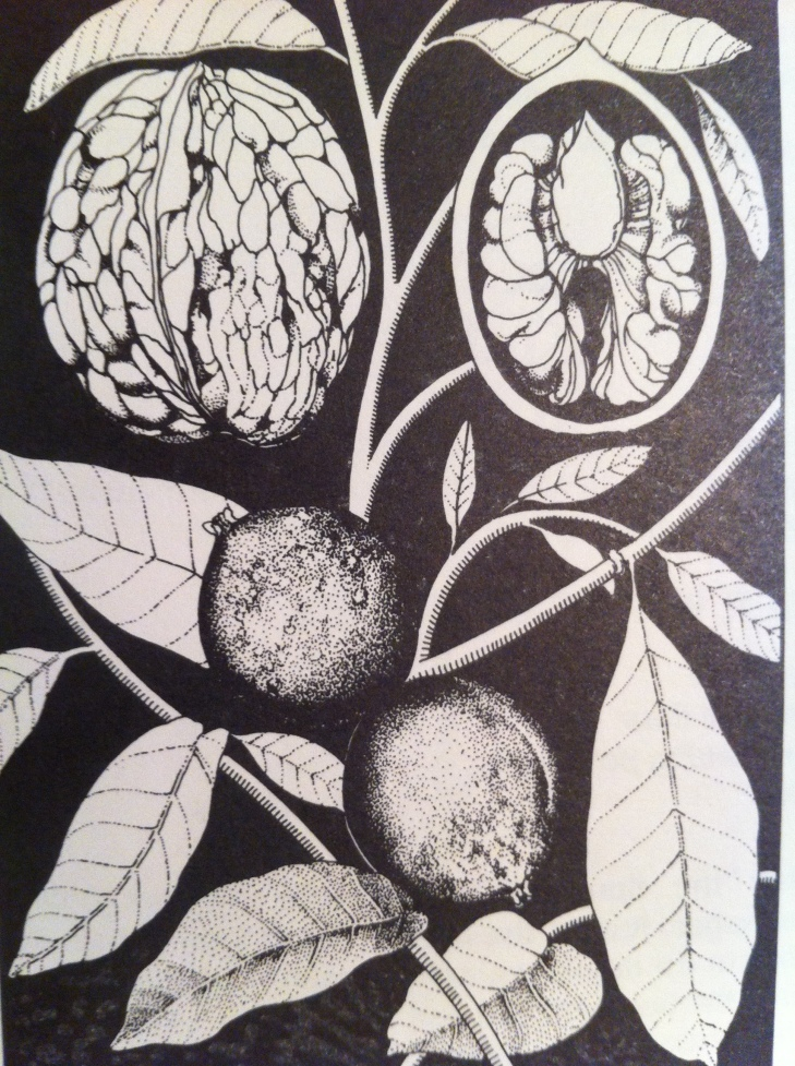 Barbara Henderson, walnut illustration, Good Food, p. 127.